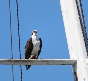 osprey (1)