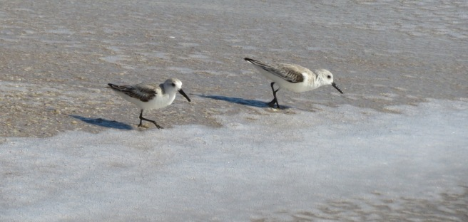 sandpipers (1)